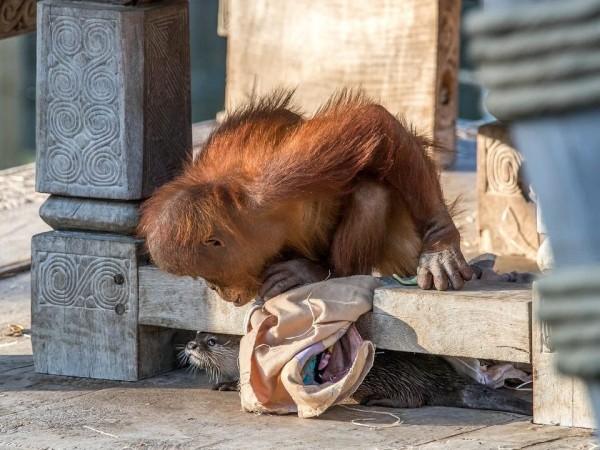 Orangutans in Pairi Daiza