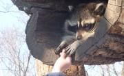 feeding raccoon