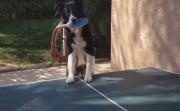 dog plays table tennis