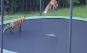 foxes and a trampoline