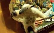 Anteater as a pet