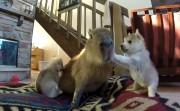 Capybara Tolerating Husky Puppies