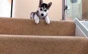 husky puppy versus stairs