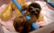 adorable sloths