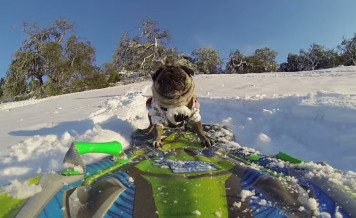pug and a snowboard