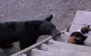 cat versus bear