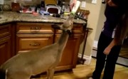 feeding a fawn in the kitchen