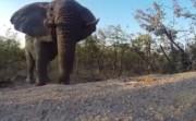 curious elephant