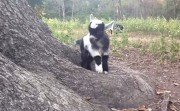 baby goat playing