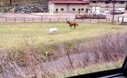 cow and horse playing