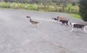 dog chasing RC Monster Truck