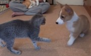 corgi and cat playing
