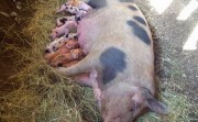 mother pig and her little ones