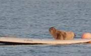 seal and a surf