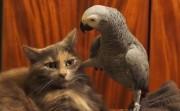 annoying parrot