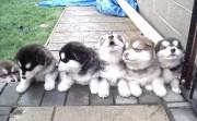 4 weeks old puppies