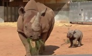 baby rhino with his motherv