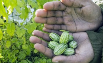 Cucamelons Are The Most Adorably Refreshing Fruit You Need To Be Eating This Summer