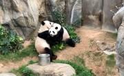 Pandas Mating