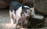 1024px-Itchy_piglet.jpg